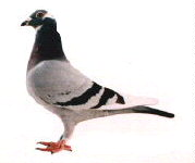 Right Pigeon