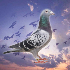 Racing Pigeons Background